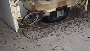 blatte de cuisine extermination de coquerelles blatte germanique à montréal
