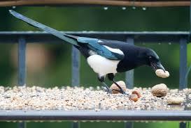 imagenes del animal urraca fotos gratis fauna silvestre pico aves alimentación vertebrado