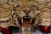 real tiger skin rug rugs home decorating ideas d7pn6z4pmo