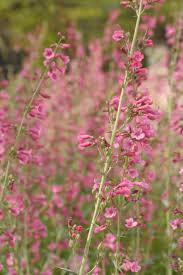 american beauty native plants native plants for southwestern gardens hgtv