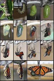 best 10 butterfly life cycle ideas on pinterest life cycle of