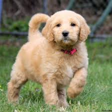 doodle for adoption indiana goldendoodle puppies for sale in pa greenfield puppies