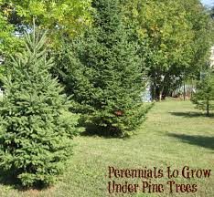 Backyard Trees Landscaping Ideas by Perennials To Grow Under Pine Trees Pine Tree Perennials And Pine