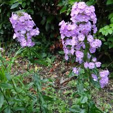 fleurs vivaces rustiques plantes vivaces phlox u0027alpha u0027 maculata group phlox pépinière