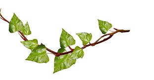 Free Green Vine Cliparts Transparent Free Download Clip Art Free Clip Art