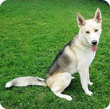 american eskimo dog short hair willie adopted dog pleasant grove ca german shepherd dog