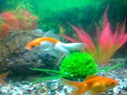 aquarium fish fish aquarium a good remedial measure for vastu
