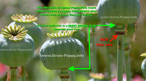 http grow poppy info pods peak alkaloid indicator u0027 page for