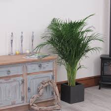 Large Tree Planters by Large Areca Indoor Palm Tree 1 20 1 30m Beautiful Quality Indoor