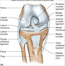 Collateral Ligaments Ankle Knee And Ankle Anatomy Musculoskeletal With Seegmiller At