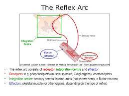 Motor Reflex Arc 11 Spinal Reflexes Sr2002 2013 Al