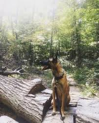 belgian malinois near me belgian malinois dog breed information 26 photos and belgian