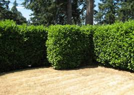 Best Trees For Backyard by The 7 Best Trees And Shrubs For Privacy Screening In Your Backyard