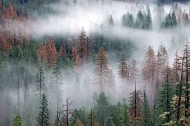 2 4 million trees are dead in yosemite national park sfgate