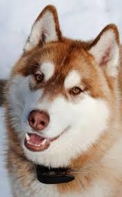 best 20 red siberian husky ideas on pinterest red husky