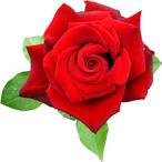 กุหลาบแดง Rose Corola | ร้านดอกไม้ ขายดอกไม้สด ส่งช่อดอกไม้ ช่อบู ...