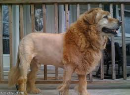 lion dogs 8 best lion cut for dogs images on pet grooming a
