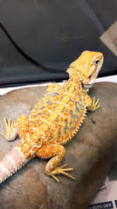 bearded dragons reptiles amphibians greater vancouver