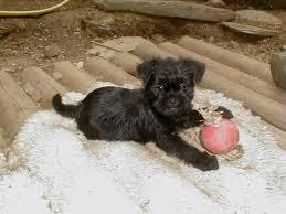 affenpinscher brussels griffon rescue find the 5 dogs archive pet talk