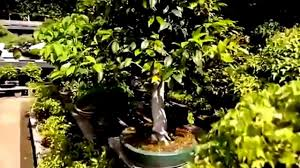 bonsai trees indoor ornamental plants youtube
