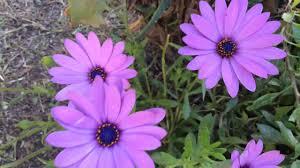 arctotis stoechadifolia african daisy flowers in garden arctotis