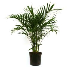 plants at home costa farms cateracterum palm in 9 25 in grower pot 10cat the
