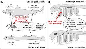 evolutionary crossroads in developmental biology cyclostomes