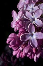 purple lilac 410 best lilac cottage images on pinterest lilacs lilac