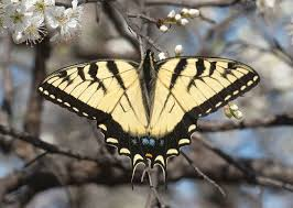eastern tiger swallowtail alabama butterfly atlas