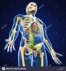 Male Body Anatomy Organs Lymphatic System Of Male Body Anatomy Stock Photo Royalty Free