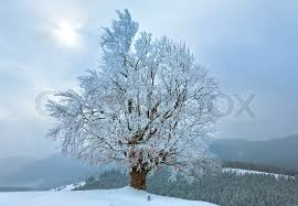 winter dull calm mountain landscape with snowy trees on hill and
