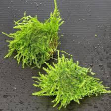 amazon com 3pcs java moss stone pad live aquarium plant fish