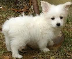 american eskimo dog poodle mix corgi cross breeds are cute 25 pictures