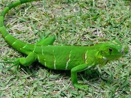 imágenes de iguanas verdes pin de carlos g corona em iguanas verde pinterest