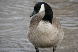 canada goose of the uk and ireland