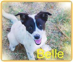 australian shepherd cattle dog chandler az cattle dog hound unknown type mix meet quinn a
