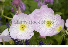 Pink Primrose Flower - evening primrose plant stock photos u0026 evening primrose plant stock