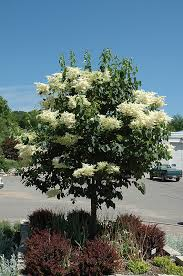 snowdance japanese tree lilac syringa reticulata snowdance in