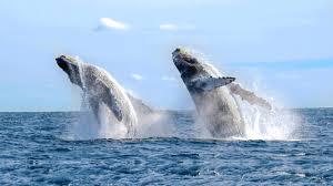 8 great places to go whale watching travel channel blog roam