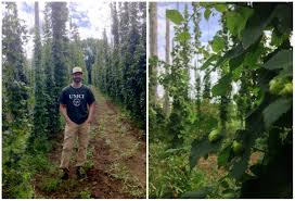 the hop yard is growing maine u0027s hop harvest celebrate at the hop