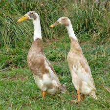 fawn and white runner ducklings for sale by purely poultry