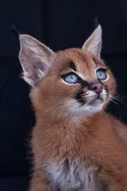 best 25 caracal kittens ideas on pinterest caracal cat