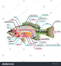 Map With Labels Fish Internal Organs Vector Art Diagram Stock Vector 423452296