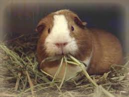 hay timothy grass hay for your guinea pigs diet
