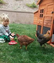 chickens in backyard backyard chicken farming brings joy to area residents valley news