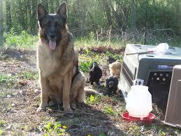belgian sheepdog craigslist poultry simple hobby homesteading