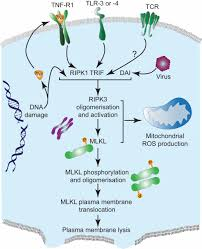 die another way u2013 non apoptotic mechanisms of cell death journal