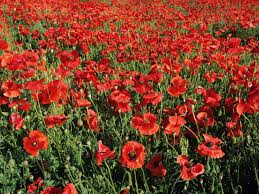 flowers in garden images add colorful poppies to your garden hgtv