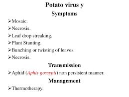 Symptoms Of Viral Diseases In Plants - plant viruses diseases and symptoms