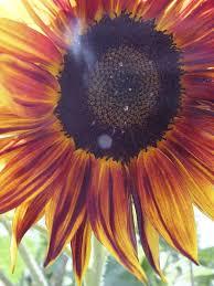 organic edible flowers 24 best sunflowers maddocks farm organics growing using organic